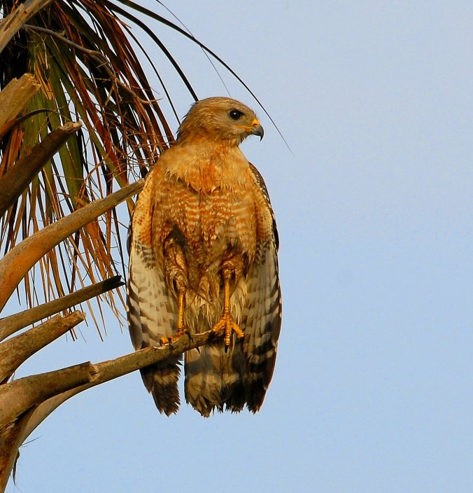 hawk_out_on_a_limb_at_lake_woodruff_-_flickr_-_andrea_westmoreland